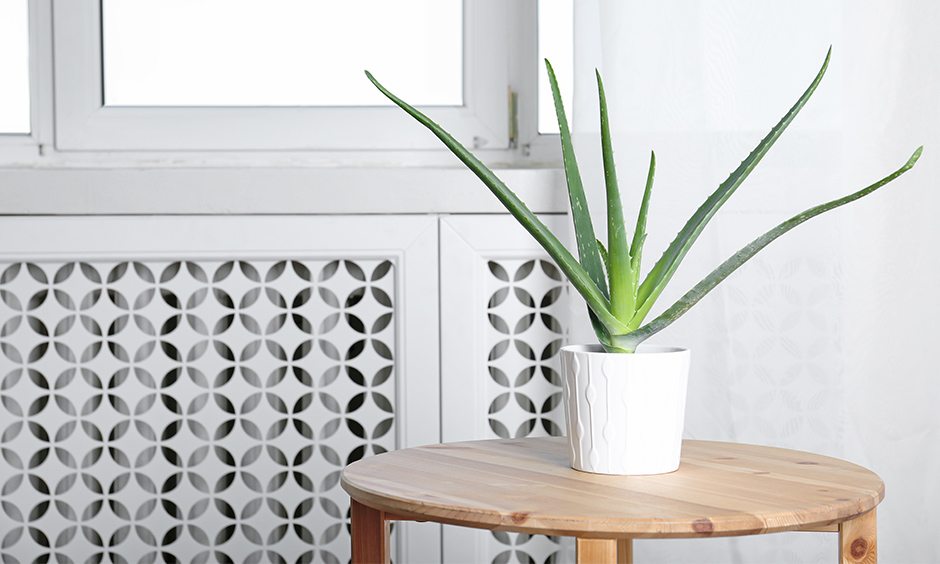 Air purifying indoor plants of aloe vera where this indoor plant is great at predicting the quality of air