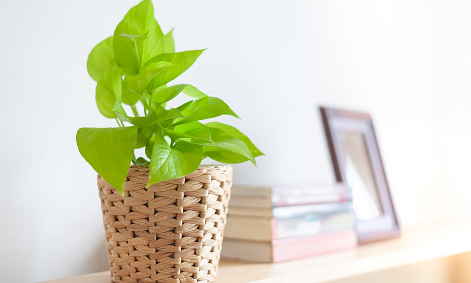 Air purifying indoor plants india with peace lily which consists of smooth, glossy heart shaped leaves