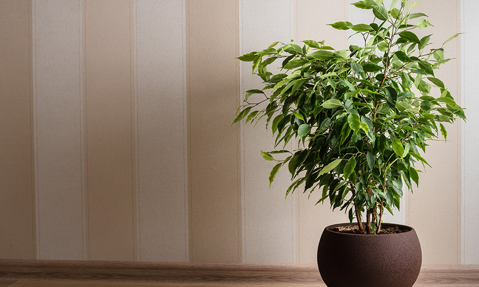 Air purifying indoor plants name which easily brings down the levels of xylene and toluene