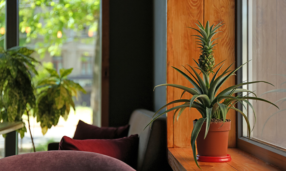 Air purifying indoor plants online india is pineapple plant which is a sturdy plant and requires less water and maintenance